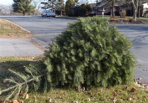 christmas tree pick up schedule across the county the