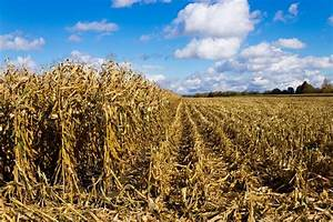 Corn field in the fall during harvest | Stock Photo ...