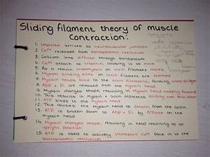 Sliding Filament Theory Of Muscle Contraction Revision