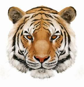 Drawn tiger png tumblr - Pencil and in color drawn tiger ...