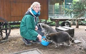Was Fressen Waschbären : das gro e fressen vor dem winterschlaf alles ~ Frokenaadalensverden.com Haus und Dekorationen
