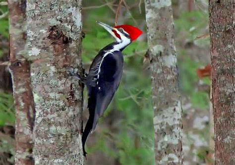 why does a woodpecker peck wood