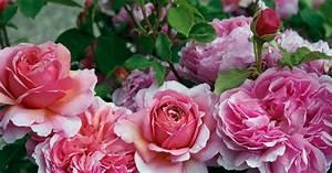 Rose Mein Schöner Garten : englische rose princess alexandra of kent informationen ~ Lizthompson.info Haus und Dekorationen