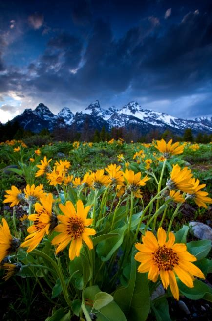 Flowers in Bloom in Grand Teton National Park Wyoming