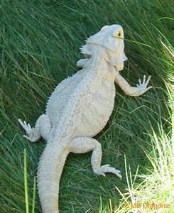 Leucistic Bearded Dragon | Crittertopia - Scales & Skin ...