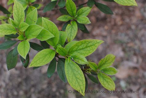 rhododendron leaves turning yellow azalea chlorosis missinghenrymitchell