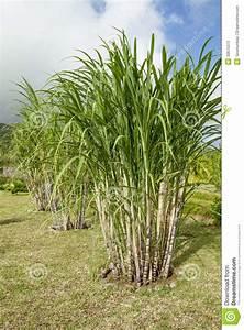 Sugar Cane Plants Stock Photos
