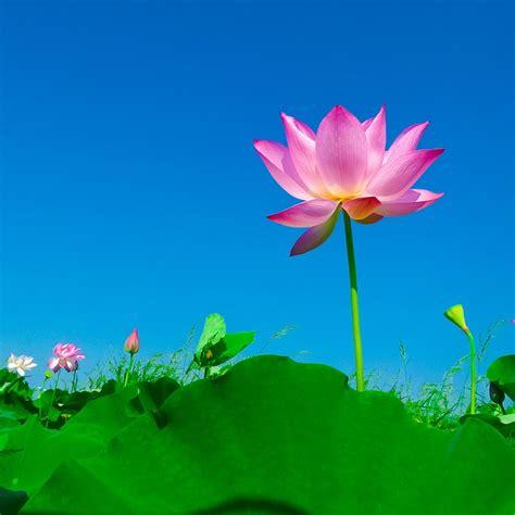 Flower Image Free Photo Lotus Lotus Leaf Flowering Free Image On