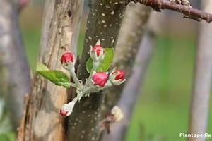 Apfelbaum Schneiden Anleitung : apfelbaum selber ziehen apfelbaum ziehen das sollten sie beachten apfelbaum selber ziehen so ~ Eleganceandgraceweddings.com Haus und Dekorationen