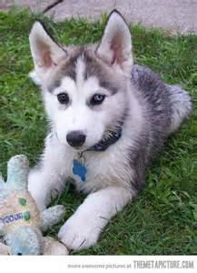 Cute Baby Husky Puppies