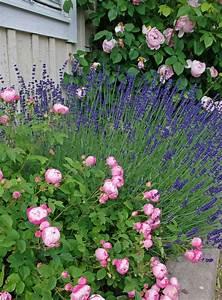 Lavendel Wann Schneiden : lavendel pflanzen wann lavendel wann pflanzen wie pflegen liebenswert lavendel pflanzen tipps ~ One.caynefoto.club Haus und Dekorationen