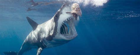 aquarium grand requin blanc pourquoi nous n arriverons jamais 224 dompter le grand requin blanc motherboard