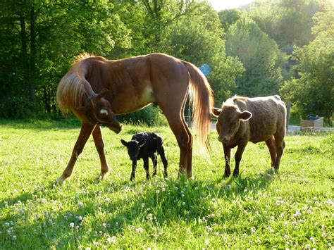 horse cows breeding breed beginnings way animal she