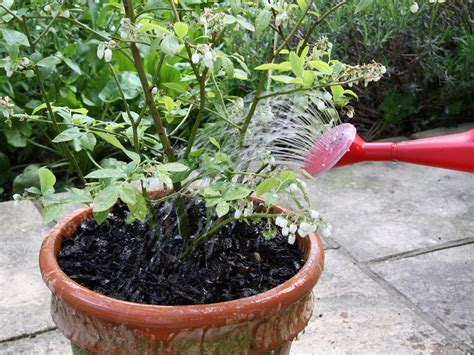 how to plant blueberry pots hgtv