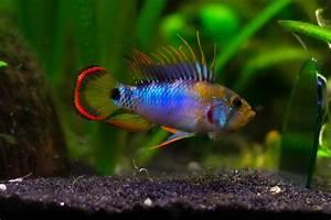 Süßwasserfische Fürs Aquarium : 20 besten aquaristik bilder auf pinterest aquarien ~ Lizthompson.info Haus und Dekorationen