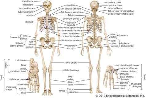 human skeleton long bones  arms  legs britannica