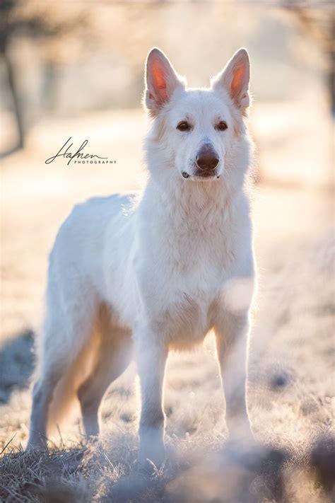 weisser schweizer schaeferhund steht im sonnenaufgang auf