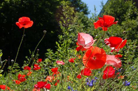 poppies hard easy   easy  grow types