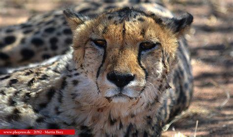 Malvorlagen Tiere Löwe Die Beste Idee Zum Ausmalen Von Seiten