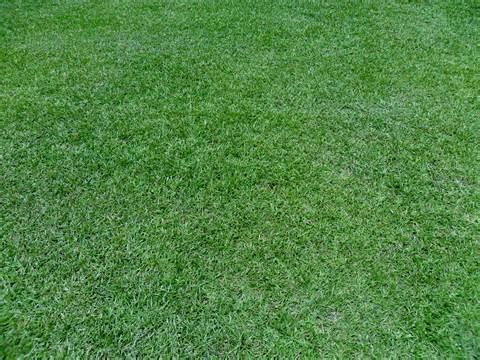 Centipede Turf Grass