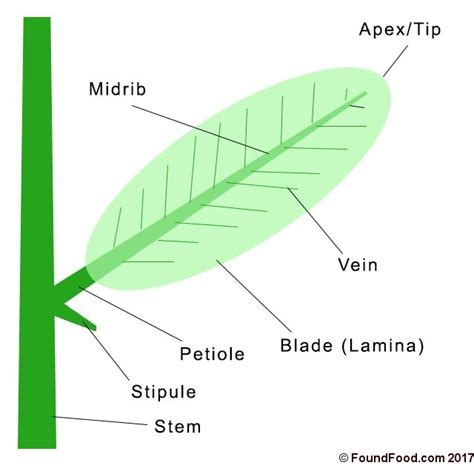 Leaf Part Diagram structure and parts of a leaf found food