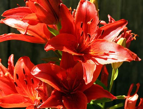lilies care how to care for asiatic lilies ehow uk