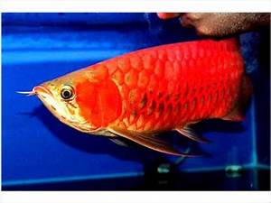 Best Super Red Arowana Fish For Sale Available - New York ...