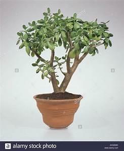 Image Gallery money plant