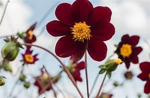 Dahlien Wann Pflanzen : dahlien pflanzen ab mai ist der beste zeitpunkt ~ Frokenaadalensverden.com Haus und Dekorationen