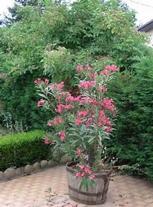 Arbres Fruitiers Nains En Pleine Terre : laurier rose jardiner avec jean paul ~ Premium-room.com Idées de Décoration