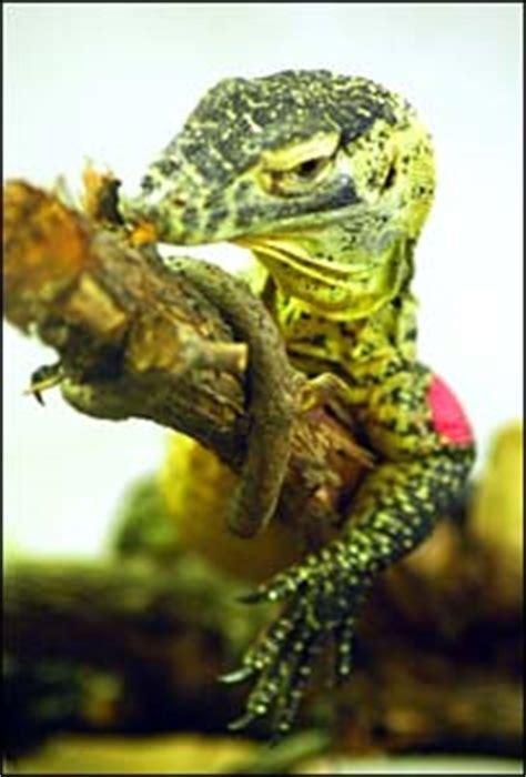 bbc news sciencenature virgin births  giant lizards