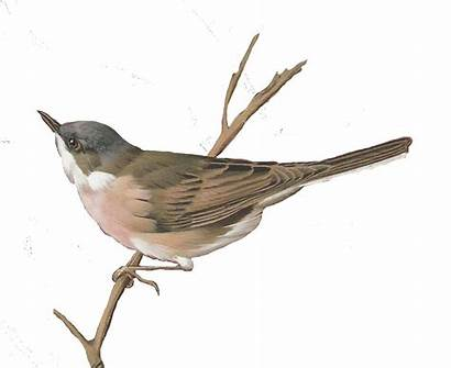 Bird Watercolor Birds Clipart Nightingale Journal Transparent