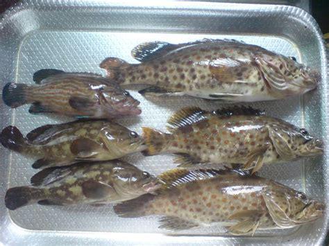 frozen grouper fish supplier fillet indonesia farming gouper profile