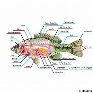 Fish Internal Organs Vector Art Diagram Anatomy With