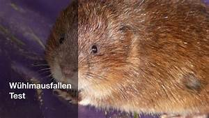 Mittel Gegen Wühlmäuse : w hlmausfallen test 2018 einfach und effektiv w hlm use ~ Lizthompson.info Haus und Dekorationen