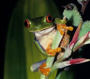 Creature Features Tree Frogs