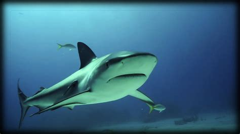 Grey Reef Sharks Are Dangerous