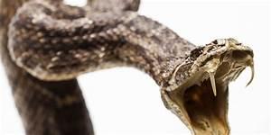シェフが噛みつかれて死んだ...頭を切断されたコブラに。でも、そんなことってあるの?