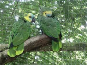 Description Blue-fronted amazon parrot 31l07.JPG
