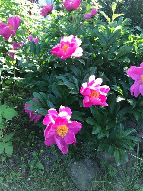 pfingstrose bernhardt paeonia lactiflora