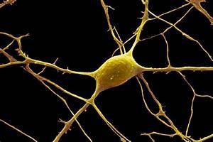 Neuron Anatomy  Nerve Impulses  And Classifications