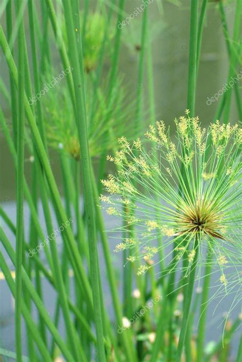 papyrus pflanze kaufen makro natur hintergrund schuss papyrus pflanze detail