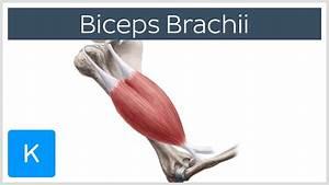 Biceps Brachii Muscle - Origins  U0026 Actions