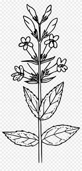 Mustard Seed Plant Clip Mountain Penstemon Drawing Arts Clipart Coloring Template Onlinelabels Clipartkey Kindpng Sketch sketch template