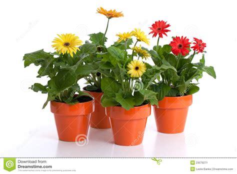 entretien marguerite en pot collection mise en pot de marguerite de gerbera image stock image 23579271