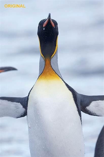 Penguin Pose King Head Tiff Georgia Gifs
