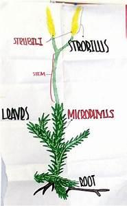 Seedless Vascular Plant Presentations Fall 2006