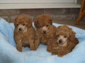 Toy Poodle Puppies Sale