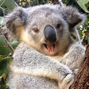 427 best images about Koala on Pinterest   Parks, Funny ...