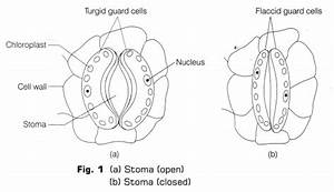 Cbse Class 10 Science Lab Manual - Stomata